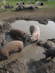 Pigs - First Nature Farms, Alberta, Canada