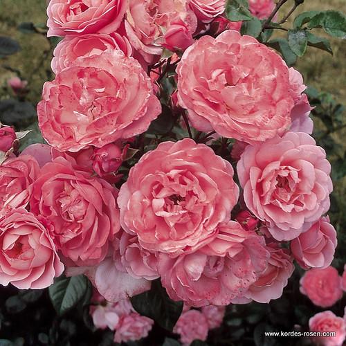 Strauchrose Mein Schoner Garten Zuchter W Kordes Sohne 1997 A
