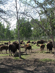 Bison Herd - First Nature Farms, Alberta