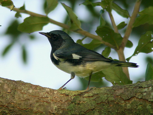 Black-throated Blue Warbler male<br /> 2-20100916