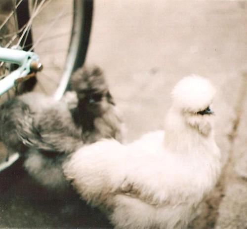 chickens! 002