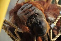 Orang-Utan (Michael Döring) Tags: zoo orangutan bismarck gelsenkirchen d300 zoomerlebniswelt afs70200 michaeldöring
