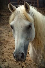Arabian Stallion (Big Grey Mare) Tags: horse arabian stallion
