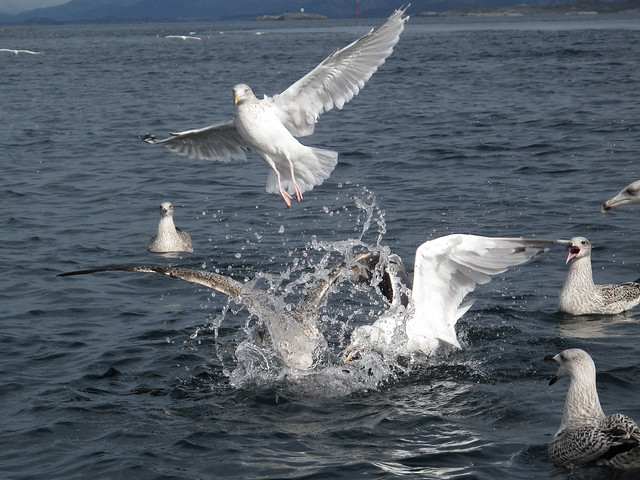 Seagulls fighting over leftovers