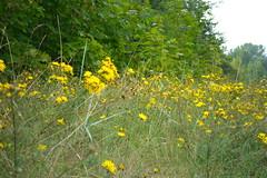 Blumen (ThomasKohler) Tags: yellow deutschland gelb düne mecklenburg duene kurort boltenhagen ostseebad seebad nwm nordwestmecklenburg seeheilbad