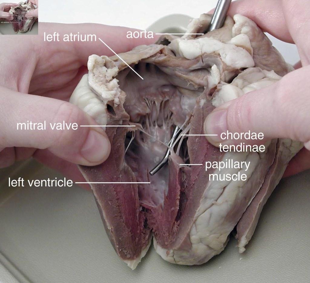 Sheep uterus anatomy