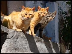 Tigri dell'Ossola.. (emilius da atlantide) Tags: cats alps animals natura piemonte animaux alpi gatto piedmont gatti animali vco ossola mocogno soriani bognanco valbognanco emilius cisore alpilepontine bognancoterme bognancofonti bognancoslorenzo