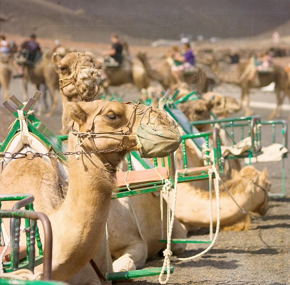 Timanfaya camels