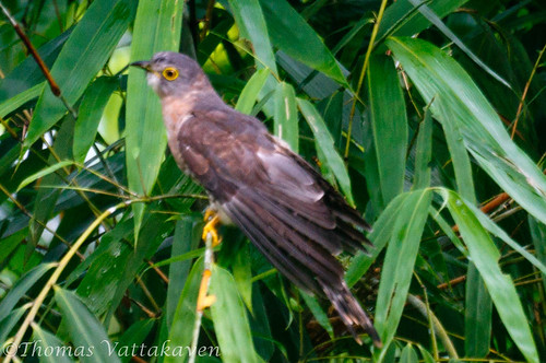Common Hawk-cuckoo (Cuculus varius)