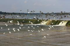 Taking Flight at White Rock (TexasEagle) Tags: dallas texas waterfowl mallards spillway whiterocklake greategrets snowyegrets
