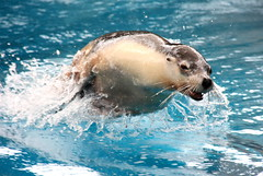 Miya the Australian Sea-Lion (CarlosSilvestre62) Tags: sydney austr