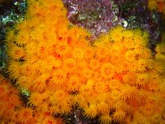 Astroides calycularis (manuel_13nitrox) Tags: mar cadiz tarifa anemonas ocano tarifabueceo
