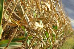 Cornfield (The Webhamster) Tags: corn cornfield perspective depthoffield