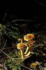 IMG_9166 (taliesin-DS) Tags: trees fall mushroom leaves forest mos bomen herfst bos heide paddestoelen bladeren wezepsche wezepse