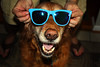 Doggy Shades (thisisbrianfisher) Tags: blue summer dog pet face sunglasses closeup goldenretriever pose puppy nose golden eyes brian shades retriever bailey fisher pup thisisbrianfisher