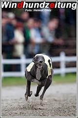 Greyhound Hündin Kengyelfuto First Bibor