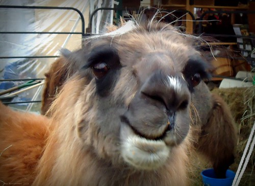 llama smiles