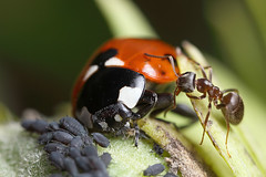 Ladybird, aphid and ant story #3 (Lord V) Tags: macro bug insect ant ladybird aphid