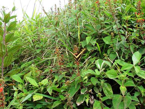 Gesneriaceae-Kohleria spicata (Kunth) Oerst._5