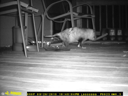 A fat possum wanders away from the camera, body at a three quarters angle to the camera.  Be grateful I didn't upload all the pictures of possum butt that the camera got in the half hour he was on the porch eating.