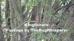 Kingfishers (ukstormchaser (A.k.a The Bug Whisperer)) Tags: uk autumn two bird birds animal animals river wildlife pair september kingfisher milton keynes fighting kingfishers