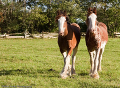 Westgate Clydesdales - -9 (Miles Away Photography - Mandi Miles) Tags: sky horse white house ontario feet animal barn contrast rural pen fence drive berkeley big mare photographer view farm country visit pasture program friendly vista breed markings stallion graze clydesdale paddock westgate markdale farmphotography mandimiles countryphotography milesawayphotography aninalphotographer