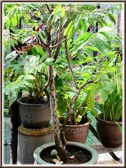 Sugar/Custard Apple (Annona squamosa) at our backyard