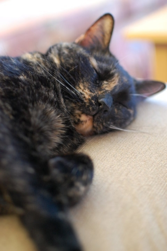 cute cat tortie