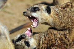 Erdmännchen (Michael Döring) Tags: zoo bismarck gelsenkirchen erdmännchen d300 zoomerlebniswelt michaeldöring af80400 yourbestpictureever