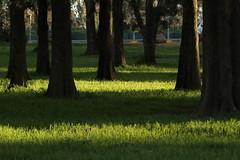 Long shadows... (kasia-aus) Tags: light shadow plant tree green nature grass dark long australia trunk canberra act 2010 belconnen lakeginninderra