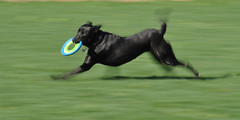 Panning Of Dog with Frisbee (quantumking007) Tags: usa dog playing motion black blur color dogs yellow digital puppy ma photography photo jump jumping mix puppies nikon lab labrador play slow teddy image photos action running run it retriever coco shutter labs catch frisbee chuck pan doggy pup capture panning chanel northeast leap fetch doggie leaping puppys chuckit d90 wwwcharlescrowleyphotographycom charlescrowleyphotography charlescrowlyphotographycom quantumking007