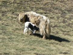 Yak nursing (jayselley) Tags: park three nationalpark asia desert september mongolia national beauties gobi exodus 2010 mongol gurvan yolynam vulturesmouth gurvansaikhan threebeauties saikhan mongolianadventure