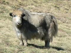 Yak (jayselley) Tags: park three nationalpark asia desert september mongolia national beauties gobi exodus 2010 mongol gurvan yolynam vulturesmouth gurvansaikhan threebeauties saikhan mongolianadventure