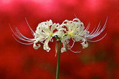 White in Red (joka2000) Tags: autumn red white flower macro green field explore spiderlily excellence naturesfinest lycoris  kinchakuda fantasticflower