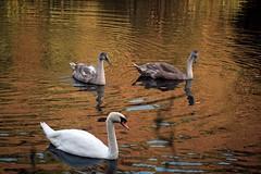 Cygnets & Swan (Verity Smart) Tags: orange sun lake macro reflection bird water digital canon lens swan cygnet 60mm dslr 400d