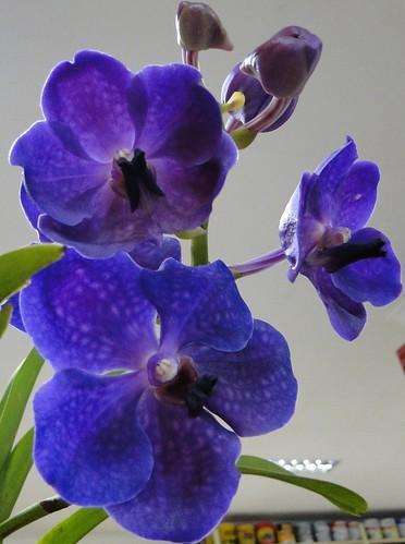 Orquídea exposta...