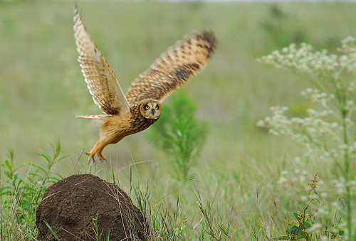 birds animals mocho-dos-banhados Asio flammeus Short-eared Owl favorites corujas