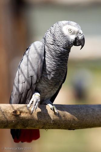 RYALE_African_Dawn_Birds_78