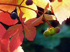 Ivy with fruits (Vestaligo) Tags: autumn light color fruits austria europe ivy foliage styria efeu geitagged theunforgettablepictures wenigzell