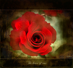 "The heart of rose (Mara ~earth light~) Tags: texture love nature rose photoshop lyrics heart expression deep creativecommons capture finest "" magicalmoments tistheseason the ourtime cityart callingallangels greatphotographers idream contemporaryartsociety fantasticnature romanceintheair infinestyle ilroseto photoshopcreativo secretenchantedgardens mara~earthlight~ ""doublefantasy"" lovelymotherearth"" healinglightofthespirit itsallaboutflowers"