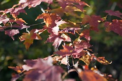 "Red maple leaves • <a style=""font-size:0.8em;"" href=""http://www.flickr.com/photos/30765416@N06/5076675739/"" target=""_blank"">View on Flickr</a>"