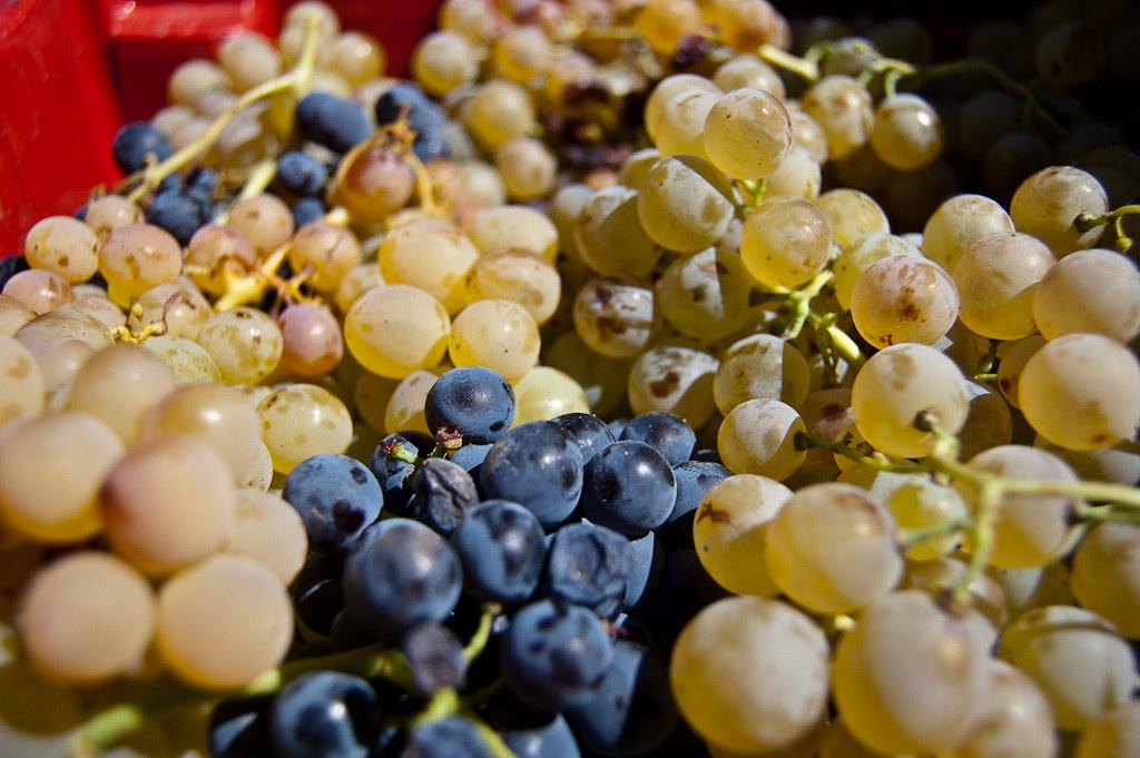 Fotos de Elaboración del vino a través de el pisado de la uva