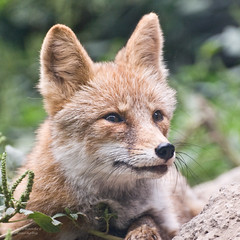 Attentive Red Fox at the Beijing Zoo (D200-PAUL) Tags: fox beijingzoo redfox foxred aboveandbeyondlevel4 aboveandbeyondlevel1 aboveandbeyondlevel2 aboveandbeyondlevel3