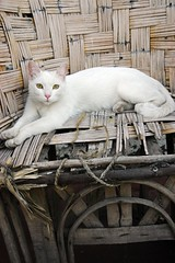 Gala, green-eyed white cat at ease in her aged woven handcrafted Mexican chair, basketweave, rope, rooftop, Guadalajara, Jalisco, Mexico (Wonderlane) Tags: life family white rooftop cat mexico guadalajara jalisco rope her barbeque aged woven gala ease greeneyed basketweave 5925 galathegreeneyedwhitecatateaseinheragedwoven handcraftedmexicanchair