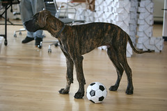 Dutch the Dane (juhansonin) Tags: dog ball design football play soccer ui greatdane cc software creativecommons license dane studios cc3 involution juhansonin invo bloxi brianstaats goinvo mikekivikosk
