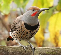 Flickering on the Boundary (Eric_Z) Tags: canada male bc coquitlam northernflicker colaptesauratus specanimal ef70200mmf4lisusm canoneos7d