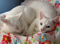 Daisy and Snoopy (twinkle_moon_bunny) Tags: cats white cute snoopy daisy