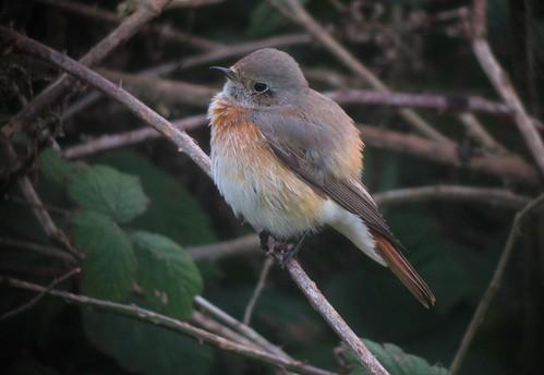 Male Redstart