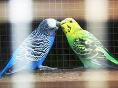 Burung Parkit (chris' 1st account) Tags: bird kissing parakeet burung ciuman parkit