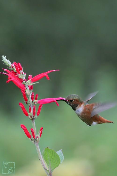 Allen's Hummingbird 101810-3
